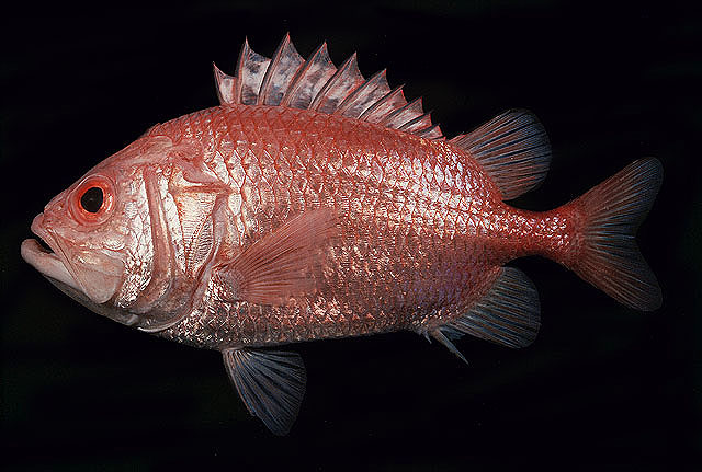 Ostichthys japonicus   