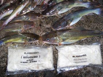 ไปตก ปลา กด ด้วยเหยื่อ หมักหอม ฝ่ายน้ำบ้านน้ำเค็ม