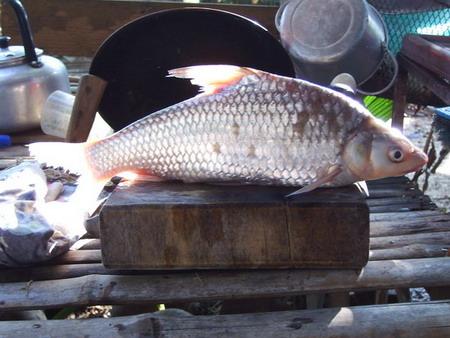 ปลาตะโกก  แม่น้ำแควน้อย