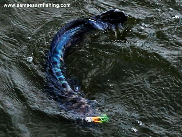 วิธีตีปลาจิบ