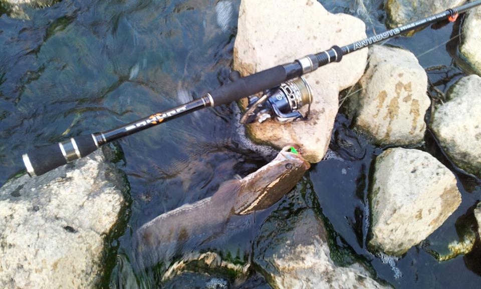 ปลาช่อน กัดเหยื่อจิ๊ก