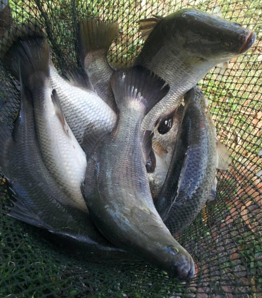 บ่อกระพงบ่อนไก่ลาดหลุมแก้วลงปลาเพิ่มแระ