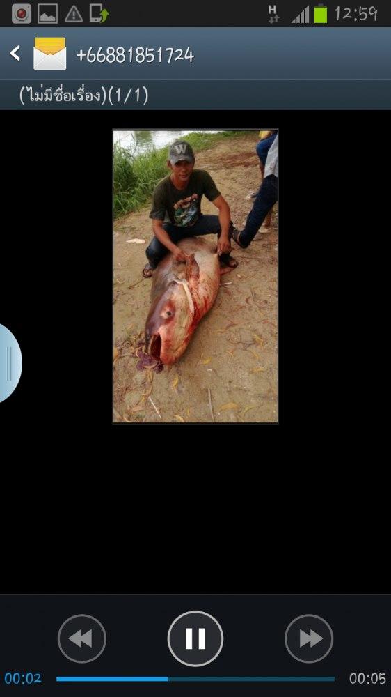 ปลาบึกไซร์ 200โล ปลาช่อนไซร์โลอัพเพียบ เมืองเอก รังสิต