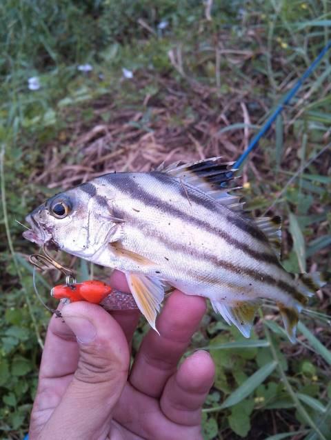Trumpeter,Grunter ชื่อ ภาษาอังกฤษของ ปลาข้างกะเพรา