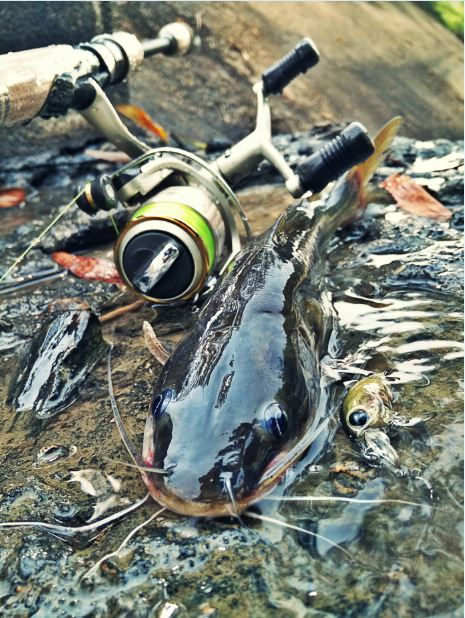 Catfish VS UL