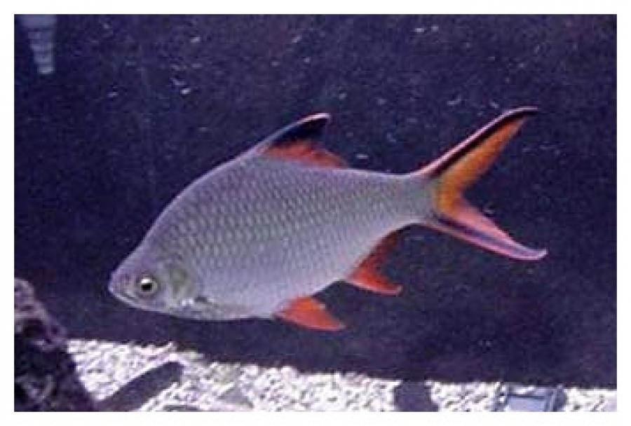 ขอสูตรเหยื่อปลากระแหแม่น้ำหน่อยครับ
