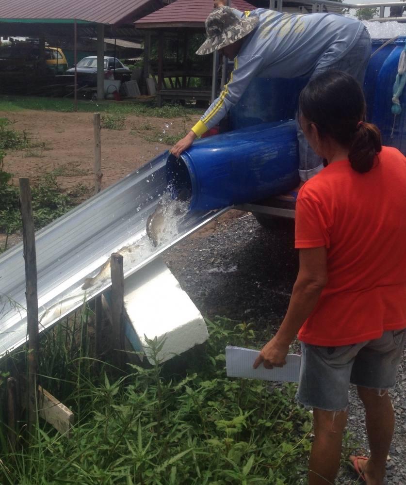 """""""วันหยุดนี้บ่อเปิดปกตินะคับ""""โปรใช้หนี้ !!ลงปลาใหม่ ไซด์โล 300 โล 14/7/59 บ่อกร"""