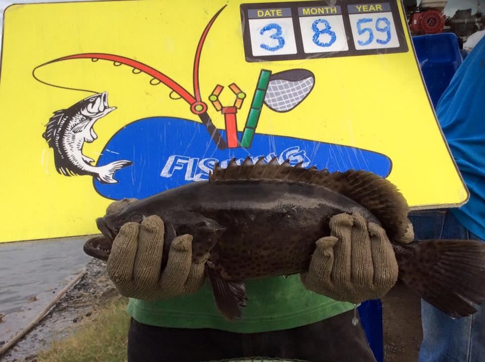 เก๋าฝูงใหญ่445ตัวที่บ่อ VIP Fishing