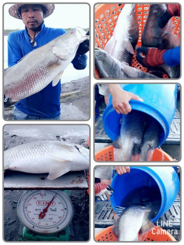 ♡♡♡♡วังกระพงน้าตุ๊.ลงปลาใหม่.เปิดเสาร์นี้.จัดเต็ม!1.2-5กก.♡♡♡♡