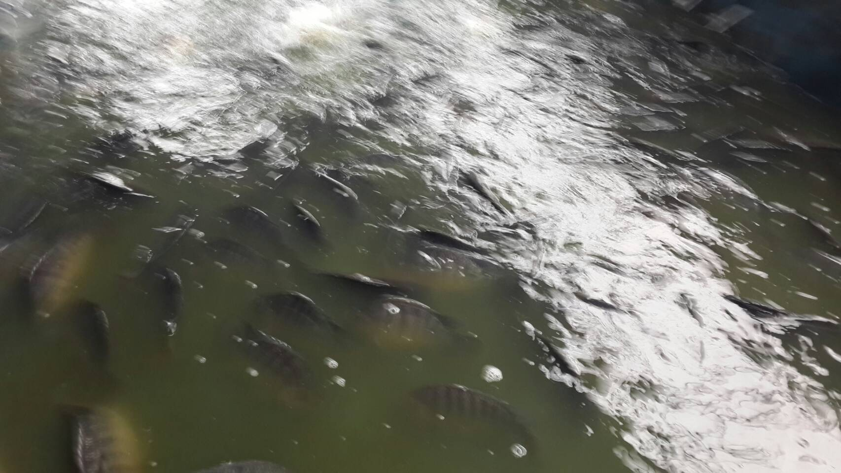 (((ลงปลาใหม่ทุกวันพุธ))) บ่อป้าเล็กซีพีเค (พุธนี้ลงแล้วจร้า 300 โล)
