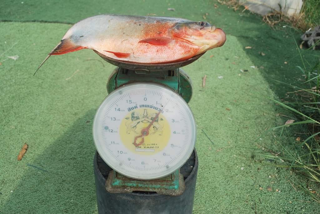บ่อตกปลาหนุ่มบางวัว(บ่อปลารวมก) ลงปลาอีกแล้วที่ 23 ส.ค 59