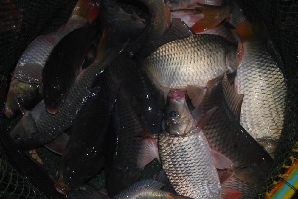 บ่อตกปลาหนุ่มบางวัว(บ่อปลารวม) ลงปลาอีกแล้วที่ 15 ธ.ต 59