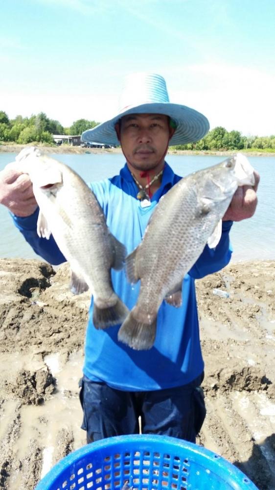 ♡♡วังกระพงน้าตุ๊ลงปลากระพงน้ำเค็ม.300.ตัว รอบนี้เอาใจนักตกปลาให้มันส์กันเลย.♡♡♡