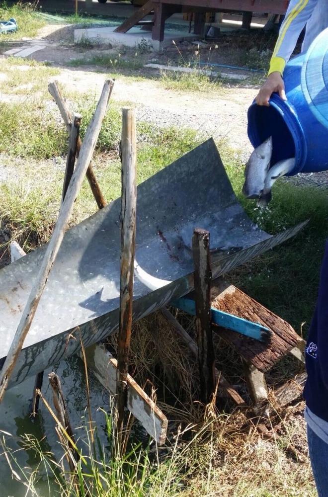 บ่อบ่อนไก่ลาดหลุมแก้ว ทุกวันศุกร์ - อาทิตย์ เปิดถึง 24:00น ลงปลาใหม่ ไซด์โล 300
