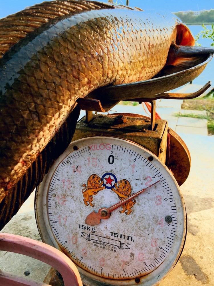 , , texas rig ปลาช่อน Big Big , ,