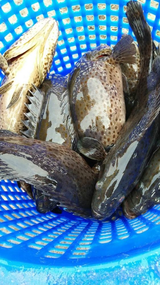 เก๊า เก๋า มาแล้ว ณ วังกระพงน้าตุ๊.200.ตัว ปลาอ้วนๆ1.2-2โล