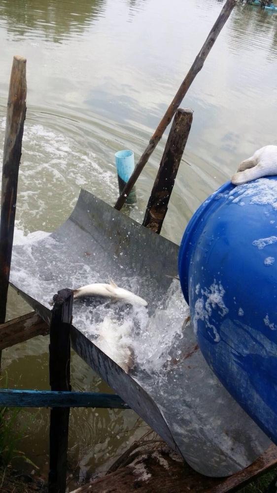 ลงปลาใหม่ 300โล บ่อบ่อนไก่ลาดหลุมแก้ว