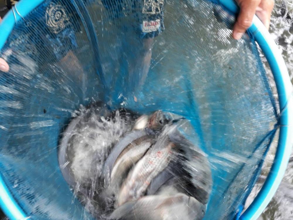 พุธนี้ บ่อป้าเล็กCPK ลงปลาใหม่แล้วจร้า 500 กว่าโล ไซร์ 1.5 โล