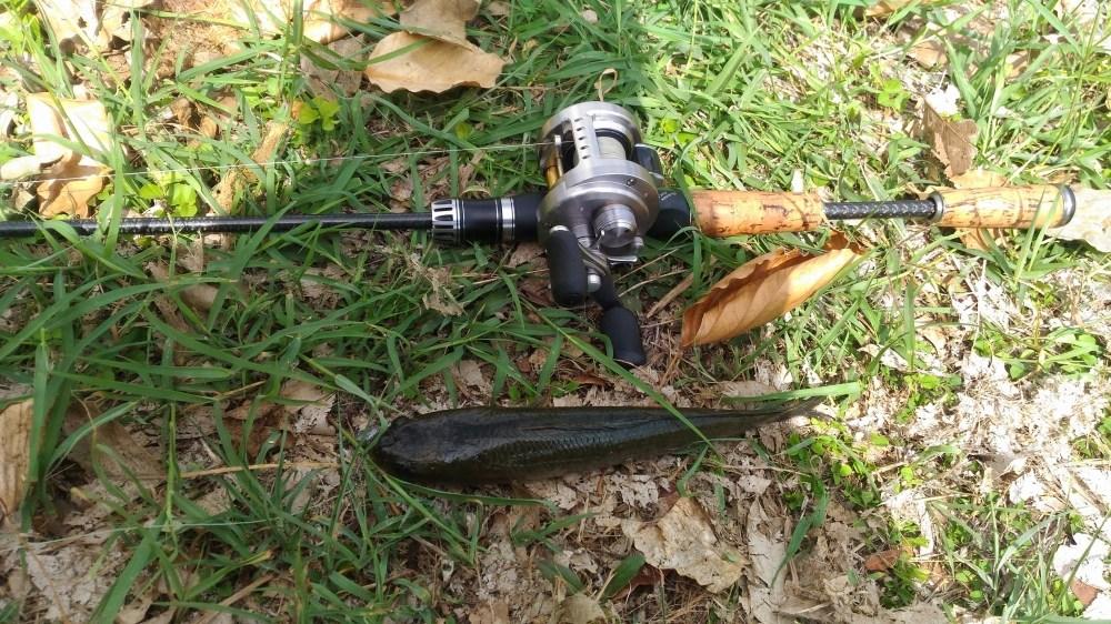 สระบุรี ก็มีปลาช่อน (หายากซะเหลือเกิน)