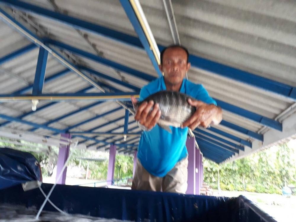 พุธนี้ บ่อป้าเล็กCPK ลงปลาใหม่แล้วจร้า 800 กว่าโล ไซร์ 1.5 โล
