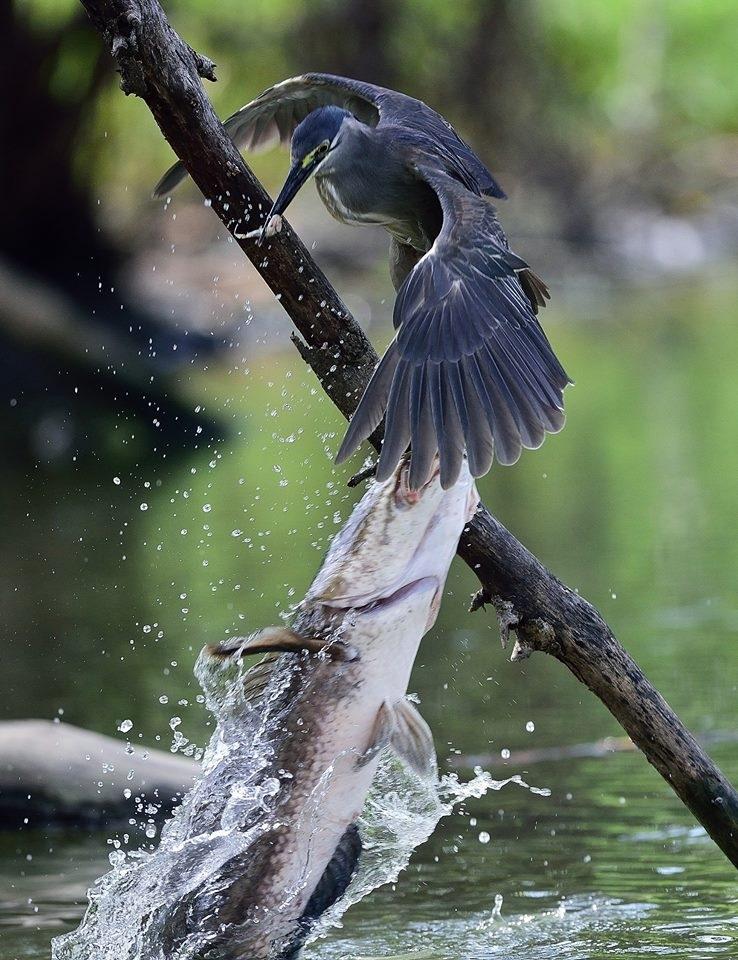 ปลาอะไรกินนก