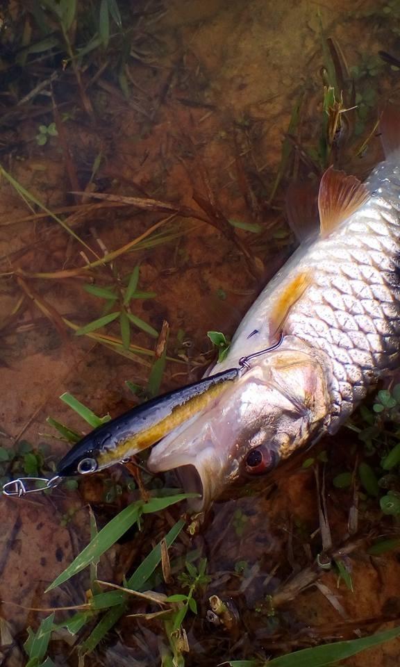 ปลาช่อนลูกครอก