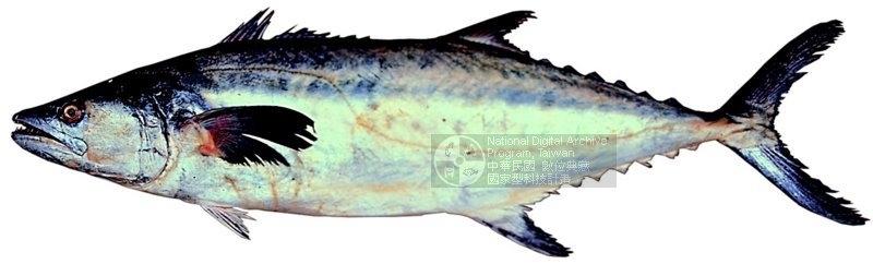 ปลาอินทรีทะเลสาบเขมรlสูญพันธุ์หรือยังครับ