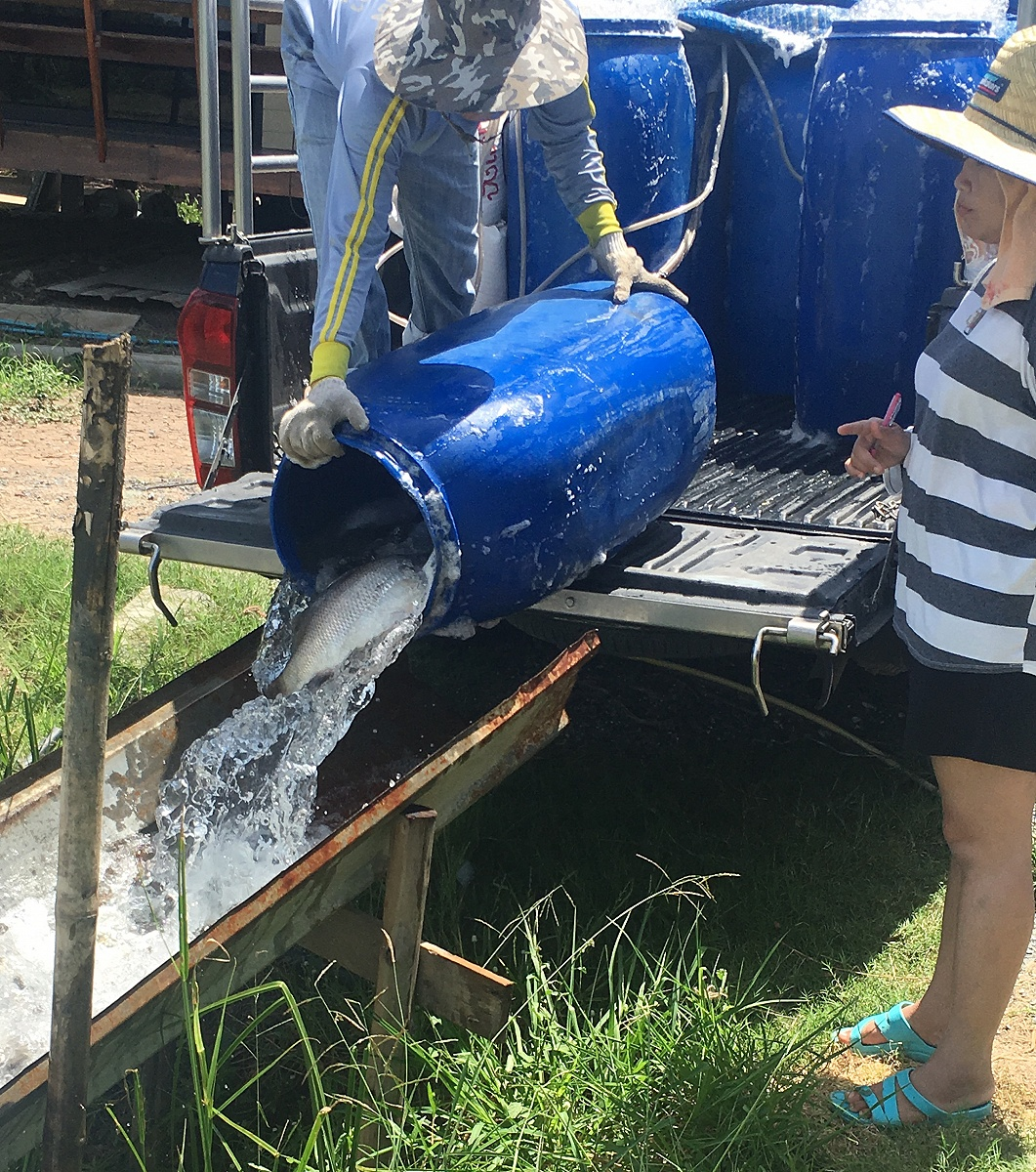 28/9/60ปลาใหม่ 300 โล บ่อตกปลากระพงและสนามกีฬาชนไก่ลาดหลุมแก้ว