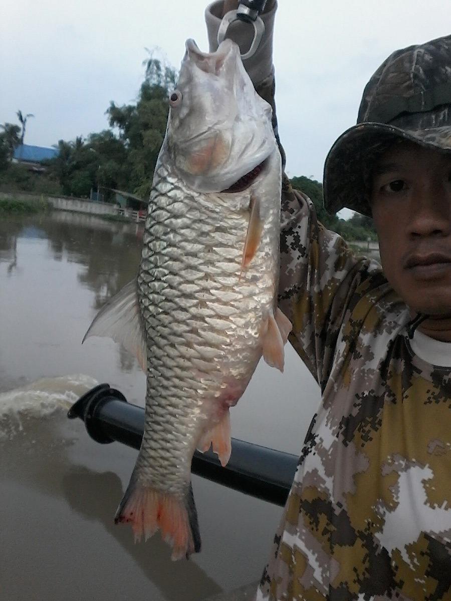 กระสูบใหญ่แม่น้ำท่าจีน 52 ซม.