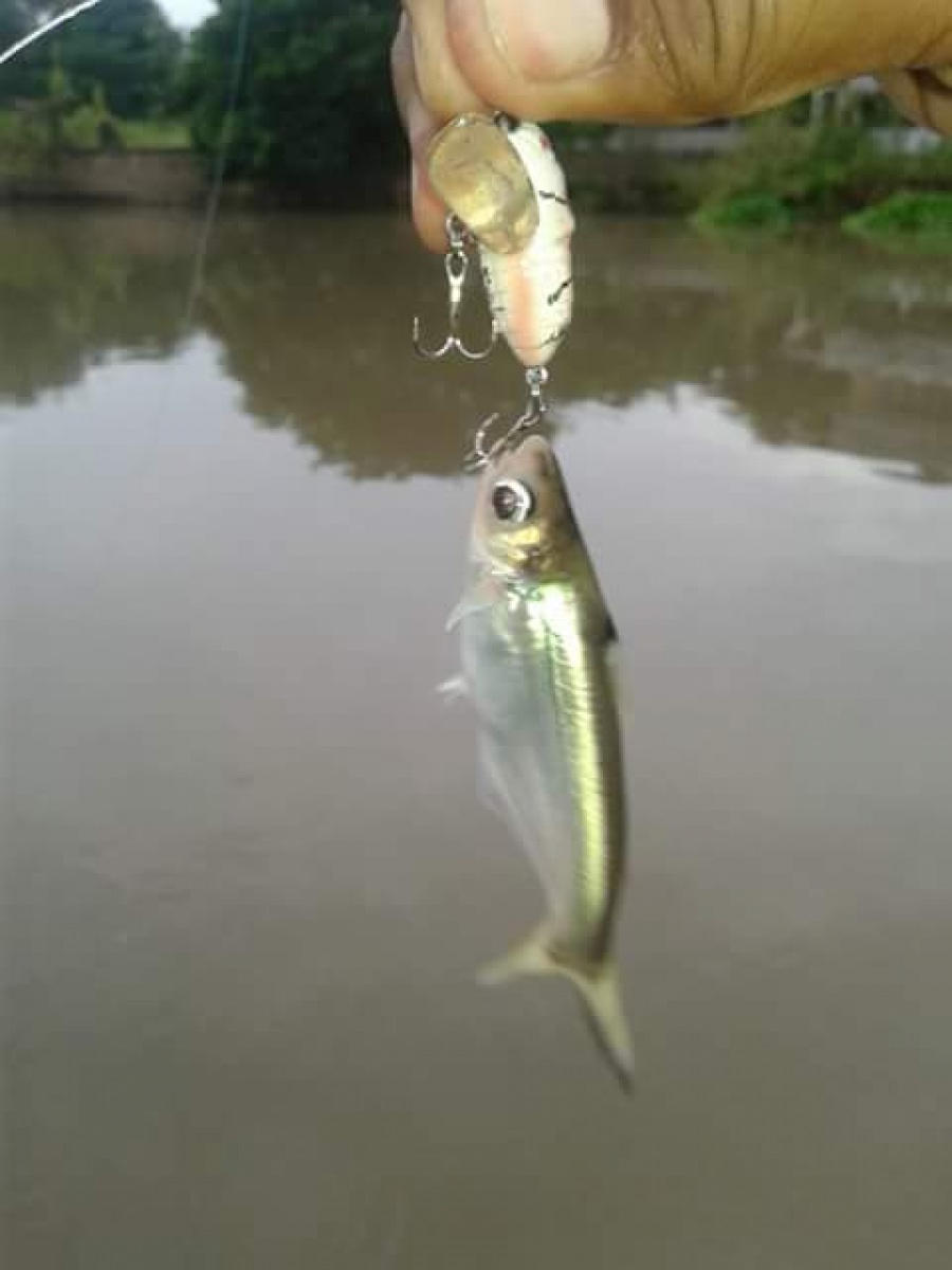 ผลงานเหยื่อแมลงกับปลาแม่น้ำ
