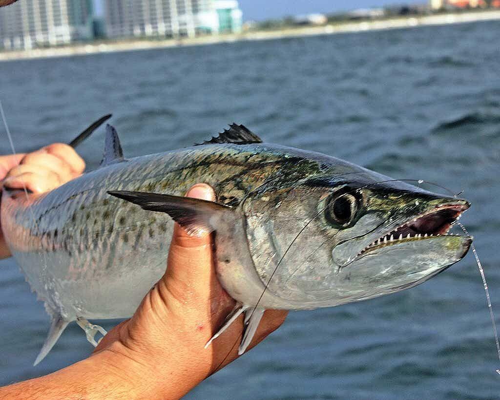 ปลาทูซาเตี๊ยะ