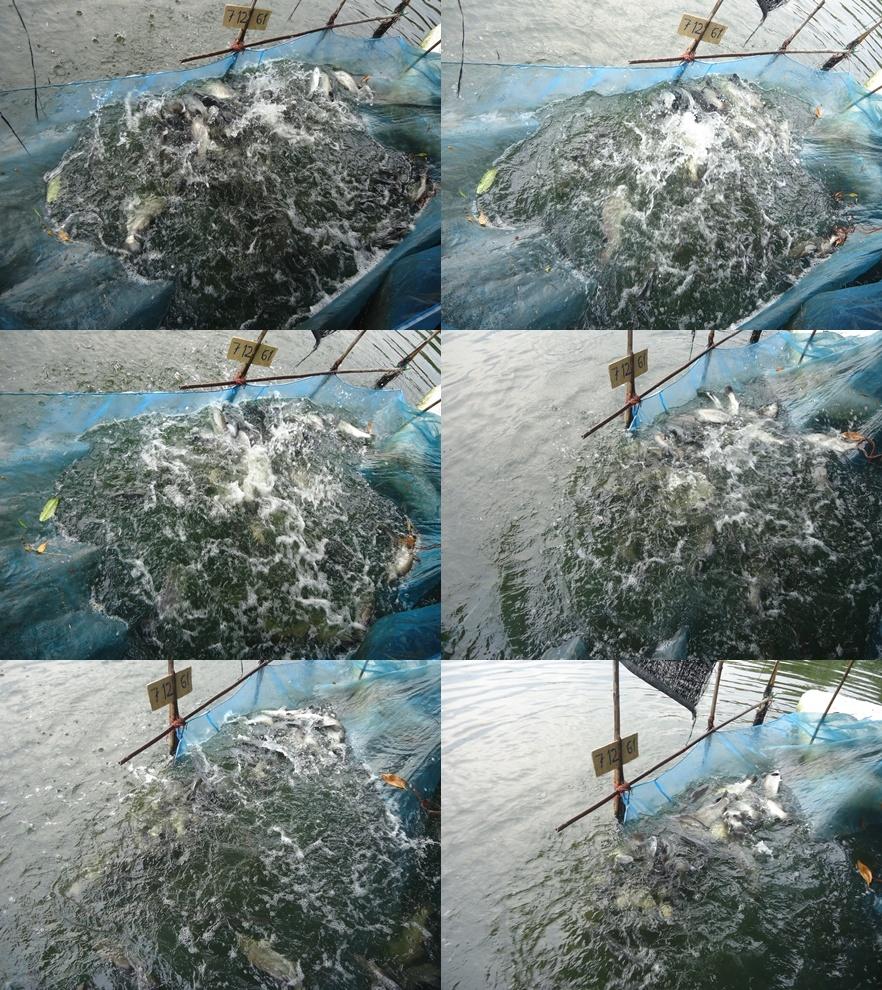 บ่อเจ้เพ็ญลงปลาแล้ว #แจกน้ำหอมตอนรับปีใหม่#