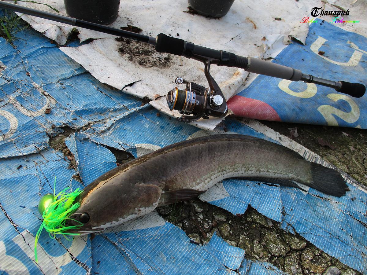 ปลาช่อนยามเย็น.......