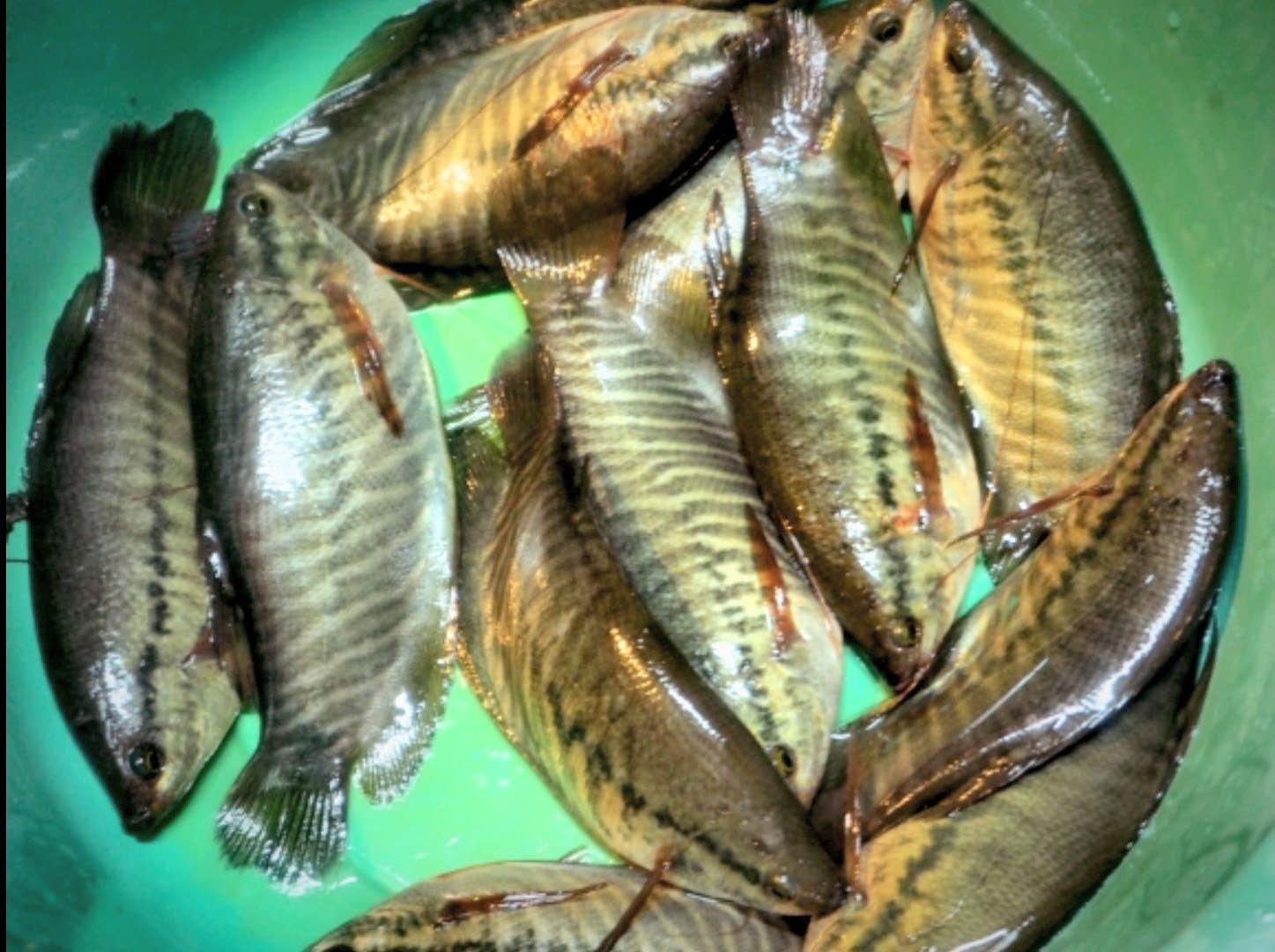 แป้งข้าวโพดก็ตก #ปลาสลิด ได้นะครับ