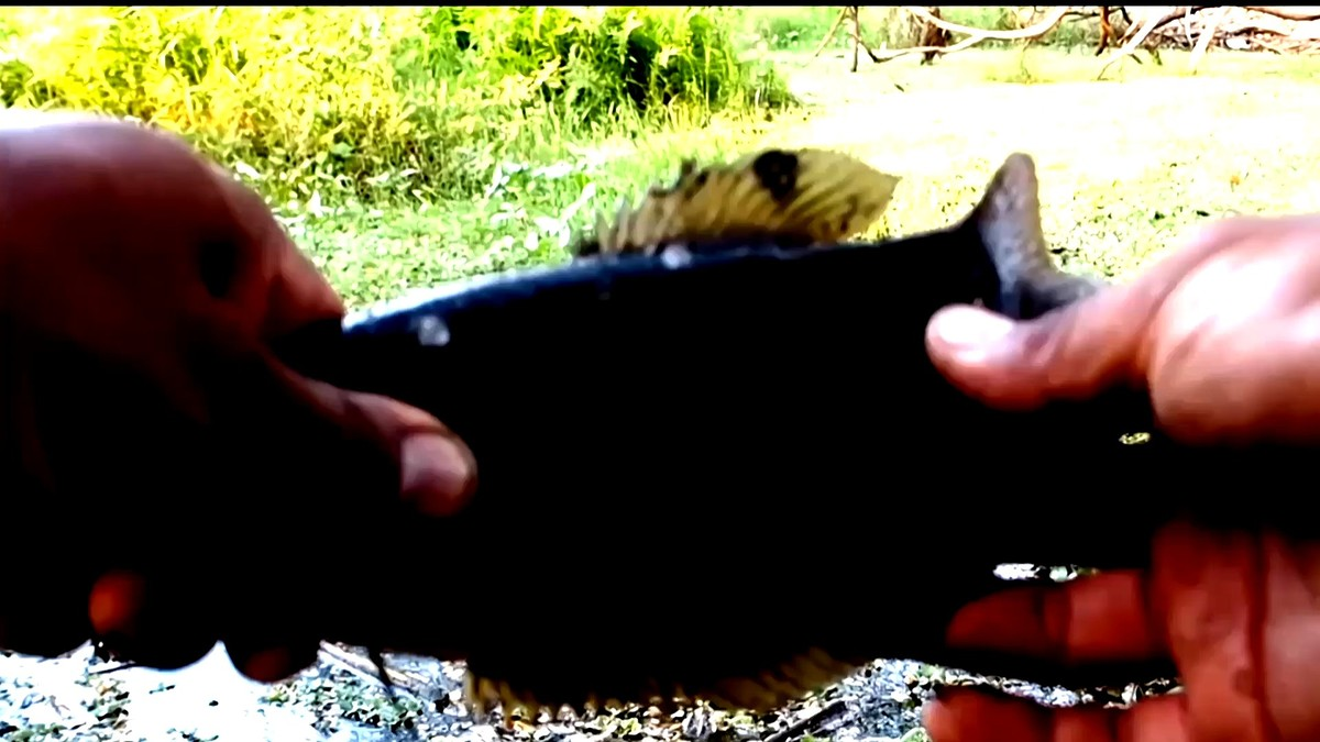 ปลาสลิดถ่านหรือเปล่า..ทำไมตัวดำแท้เน้อ #ตกปลาสลิดด้วยเนื้อหมูแดง