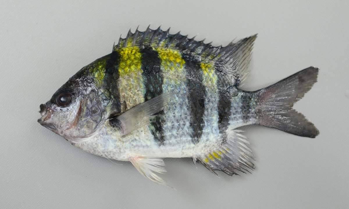 ปลาชนิดนี้ทำเมนูไหนดีครับ